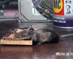 【閲覧注意:動物】ネズミ捕りで取ったどー!可愛い鼠の惨殺動画集