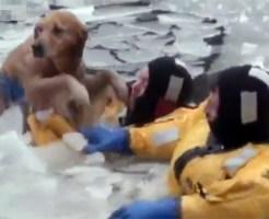 【衝撃映像:犬】凍った川にいる犬を見事に救出!!助かった時の顔が可愛い(*゚ー゚)