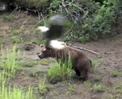 【衝撃映像:動物】クマを割とガチで食べようとするワシwww