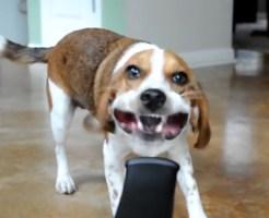 【おもしろ:犬】ドライヤーVS馬鹿犬w 鼻乾いたら死ぬんじゃなかったっけw?