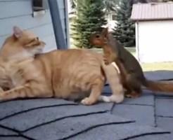 【可愛い:猫】リスと猫がじゃれるw仲良すぎて嫉妬してしまうレベルwww