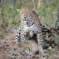 【衝撃映像】豹の交尾がオラオラ系過ぎる件wこれレイプじゃねw?