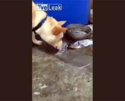 【萌え犬動画】陸に上がった魚に必死に水を掛けて助けようとする犬w