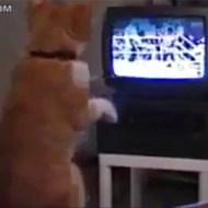 【萌え注意】趣味がボクシング観戦の猫が可愛すぎる件www【動画】