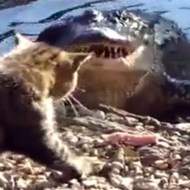 【動物VS】巨大ワニVS野良猫 猫パンチがクリーンヒットして判定勝ち!