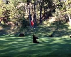 【萌え注意】ゴルフ場で遊ぶ小熊が可愛すぎて涎止まらないw