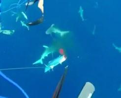 【衝撃映像】銛で魚を捕ってたらサメの大群が襲ってきて・・・