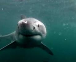 【ハプニング】海に飛び込んだら目の前に2mのサメがいた結果・・・ ※動画有り