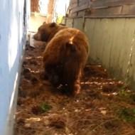 【衝撃映像】巨大熊と遭遇したけどクソ漏らしながら逃亡したwww