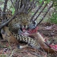 【閲覧注意】獲物を捕食中のヒョウを至近距離で撮影していたカメラマンが突然襲われる…