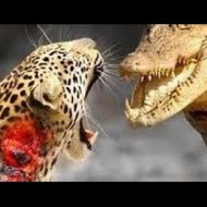 【動物衝撃】ワニとヒョウ戦ったらどっちが勝つと思う?