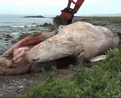 【死体処理】海岸に漂着したクジラの死体の処理ってどうやってるか知ってる?