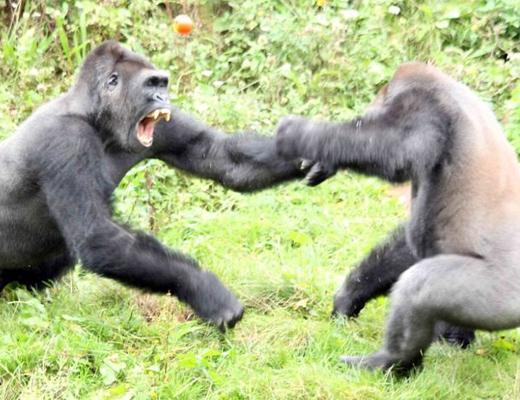 【衝撃映像】トマトが食べたいオスゴリラたちの戦いがガチすぎて笑った
