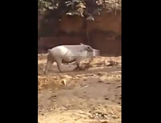 【グロ動画】豚が美味しそうに食べてるの人間の赤ちゃんなんだが・・・