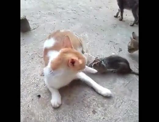 【動物虐待】猫のしっぽにネズミ巻きつけたらどうなるか試してみたwww ※動画