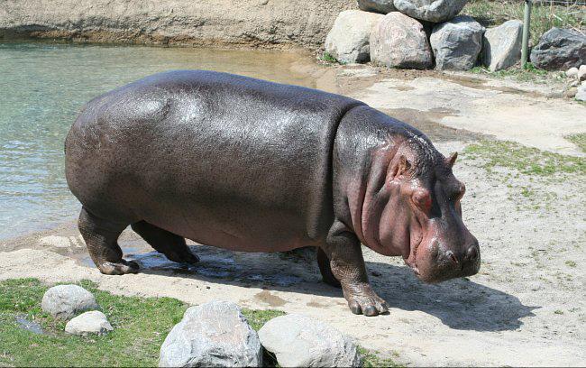 【グロ画像】動物園で飼育されてるカバ死んだけどそのまま埋葬するのもったいないから解剖してみた