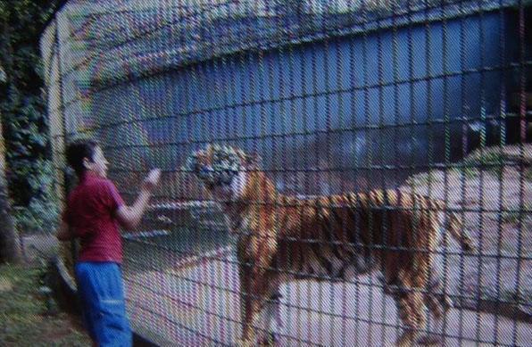 【グロ画像】動物園のトラの檻に手を入れていた男の子の末路・・・ ※閲覧注意