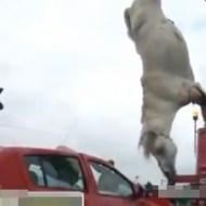 【衝撃映像】馬と車がMAXスピードで正面衝突したら・・・※グロ注意