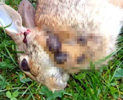 【グロ動画】ウサギに寄生した馬鹿でかい寄生虫・・・