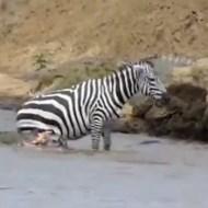 【閲覧注意】川でワニに襲われ難を逃れるも内臓がドバドバと出てしまうシマウマ・・・