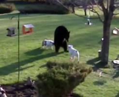 【動画】ブルドッグ強えぇwコンビネーションを駆使してクマを圧倒w