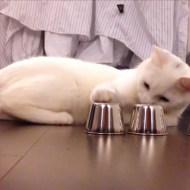 【猫動画】ぬこの動体視力ナメんな!猫が挑むスリーシェルゲーム!