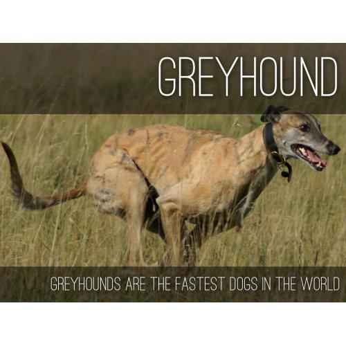 Medium Crop Of Fastest Dog In The World