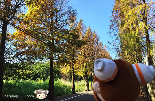【桃園/大溪落羽松大道】一年最美的景色 落羽松秘境