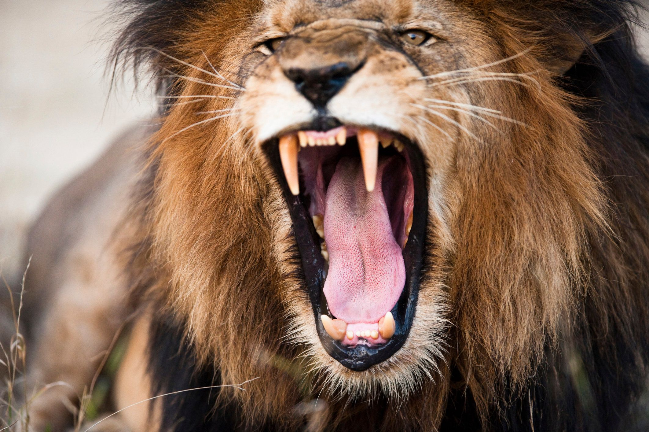 Lions Kill And Eat Suspected Poacher   HuffPost