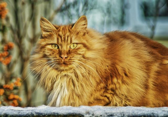 Estudo indica que agressividade dos gatos pode estar ligada à cor