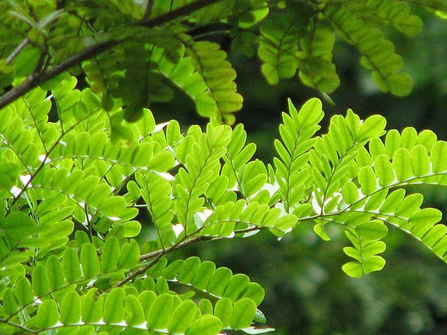 9 curiosidades sobre o pau-brasil, a árvore que dá nome ao nosso país 9 curiosidades sobre o pau-brasil, a árvore que dá nome ao nosso país 03162538651042
