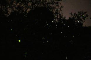 ♫世界八大奇觀之一,馬來西亞必看神景點‧瓜拉雪蘭莪螢火蟲