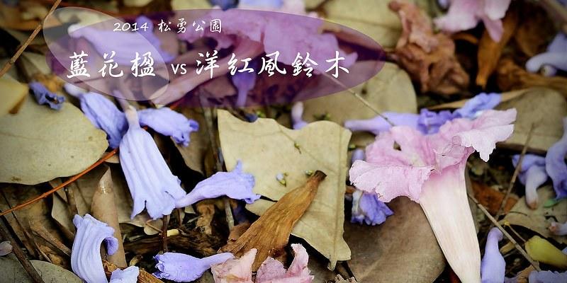 [台中。北屯區] 松勇公園藍花楹、洋紅風鈴木 (4/19)