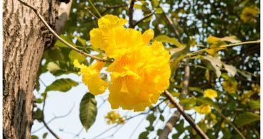 【台南賞花一日遊】走在黃色花毯上 # 風鈴木賞花之旅 #