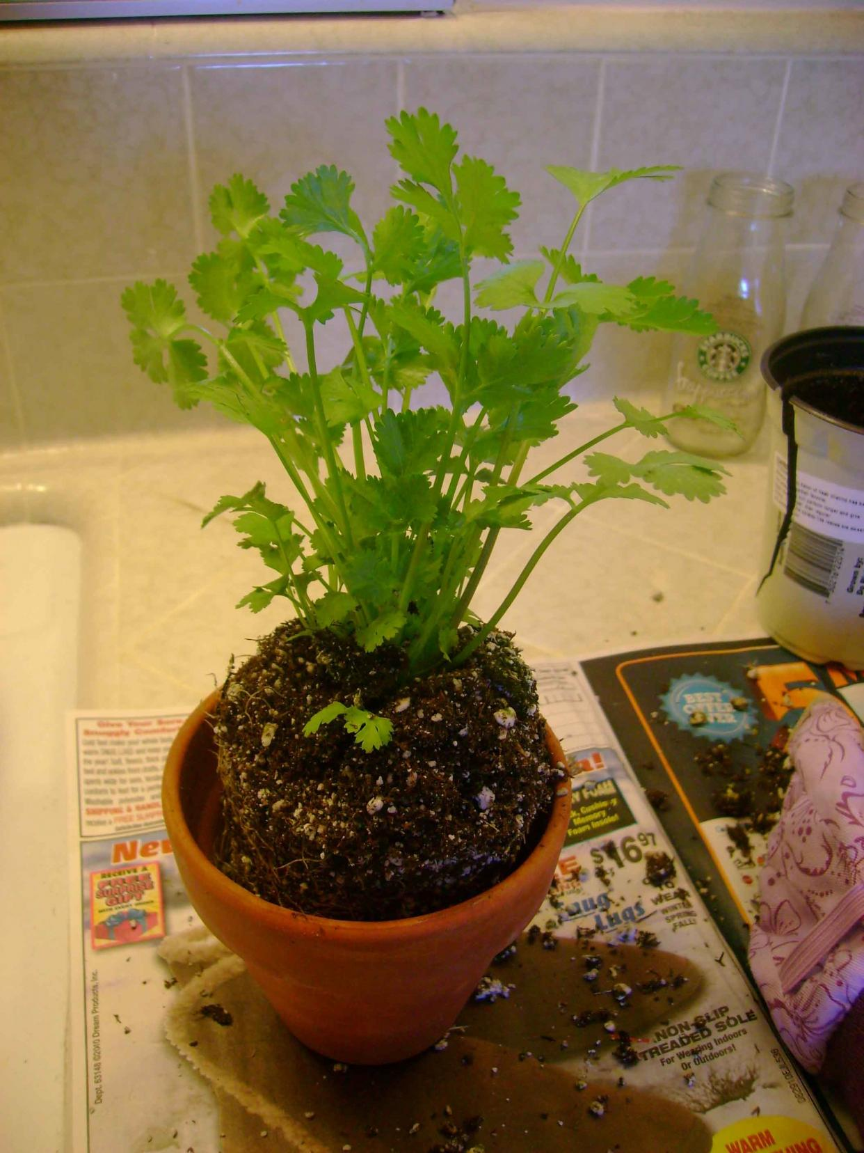 Top Winter How To Harvest Cilantro Green Fingers Gfinger Is Most Growing Cilantro S During Winter Growing Cilantro S houzz-03 Growing Cilantro Indoors