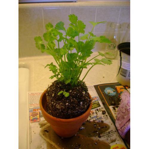Medium Crop Of Growing Cilantro Indoors