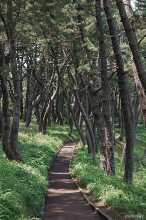 일본 아오모리 다네사시해안 소나무숲 요도노쓰바라