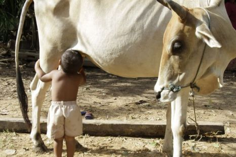 Tha Sophat, a 20-month-old boy, suckles from a cow in Koak Roka village, Siem Reap province, Cambodia