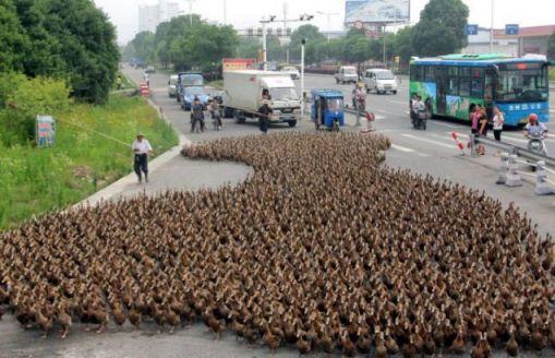 duck, Farmer Hong