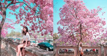 嘉義洋紅風鈴木|嘉義特殊教育學校:2019粉紅限定,爆炸粉紅色,比櫻花還美