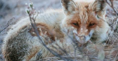 誰說只有小王子身邊才能看的到狐狸