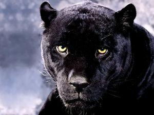 panthere.jpg