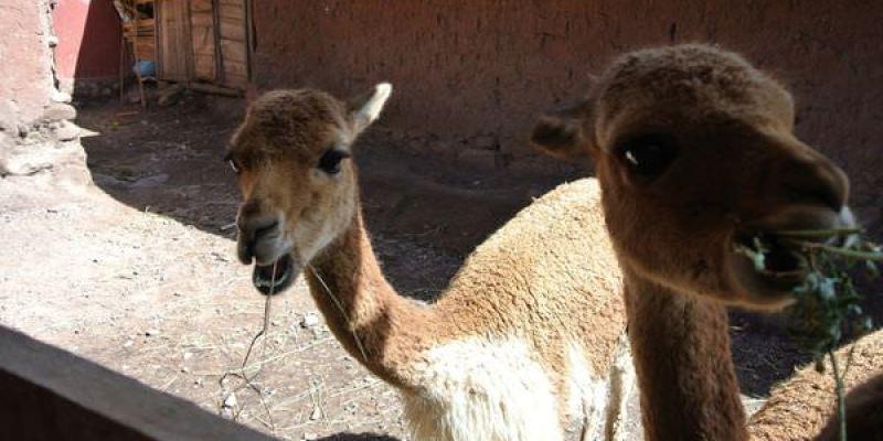 《南美》祕魯。從Puno晃到Cusco。Inka Express。巴士 part1 每個國家都有自己的風獅爺