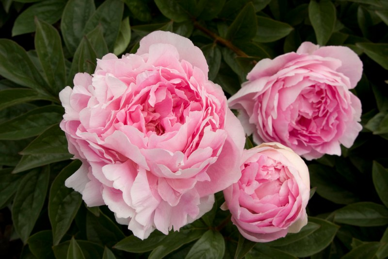 Large Of When To Transplant Peonies