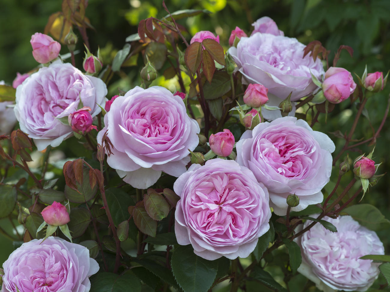 Endearing Roses Sunset Magazine How To Deadhead Roses Australia How To Deadhead Roses Uk How To Deadhead Roses Guide To Gardening houzz-03 How To Deadhead Roses