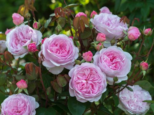 Medium Of How To Deadhead Roses