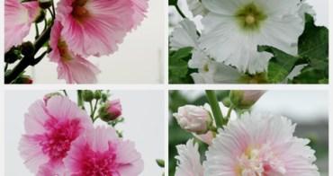 田中窯蜀葵花藝術季起跑了,花況美得讓人流連忘返。