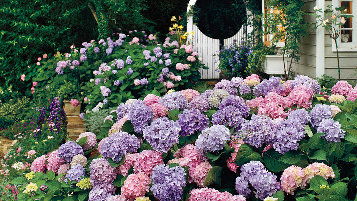 Formidable Complete Guide To Hydrangeas Sourn Living Country Roses Catalog Countryroses houzz 01 High Country Roses