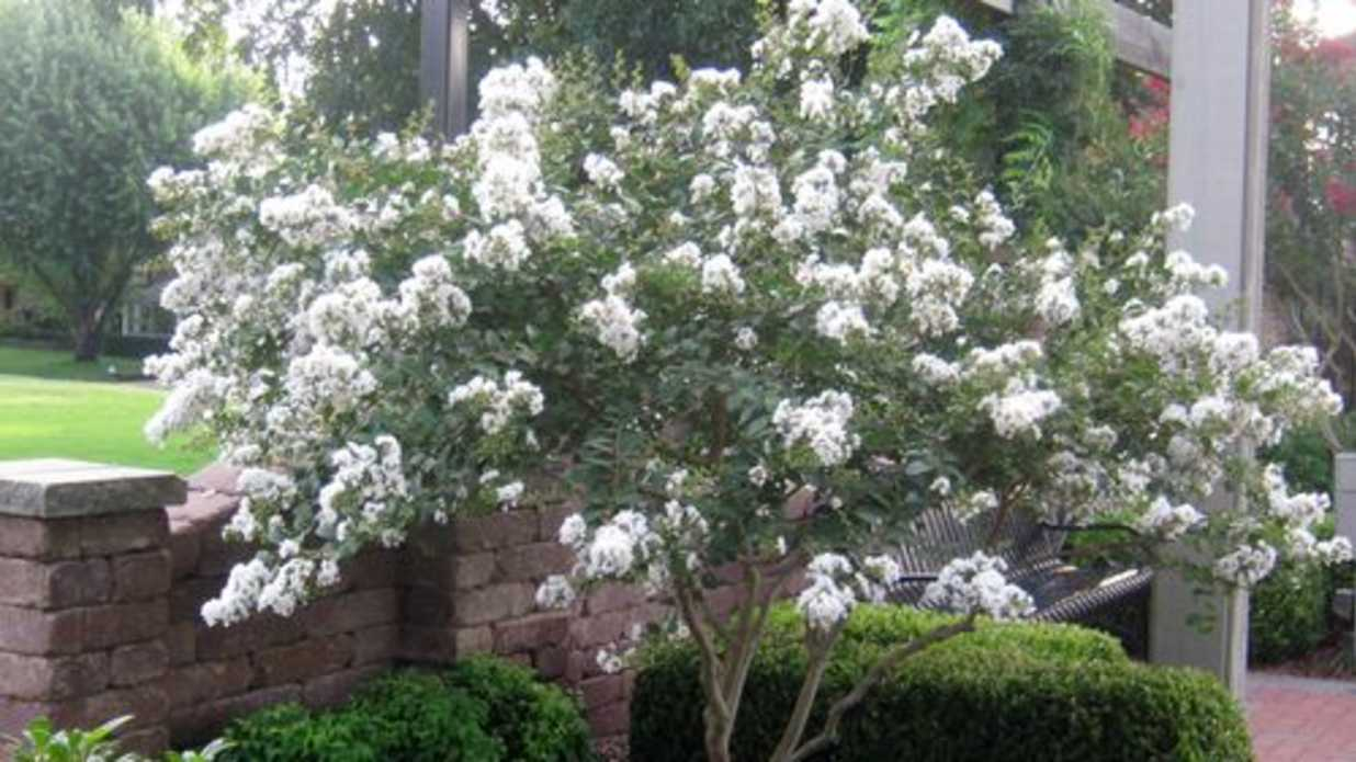 Formidable Plant A Smaller Crepe Myrtle This Year Sourn Living Acoma Crape Myrtle Spacing Tonto Crape Myrtle Tree houzz 01 Acoma Crape Myrtle