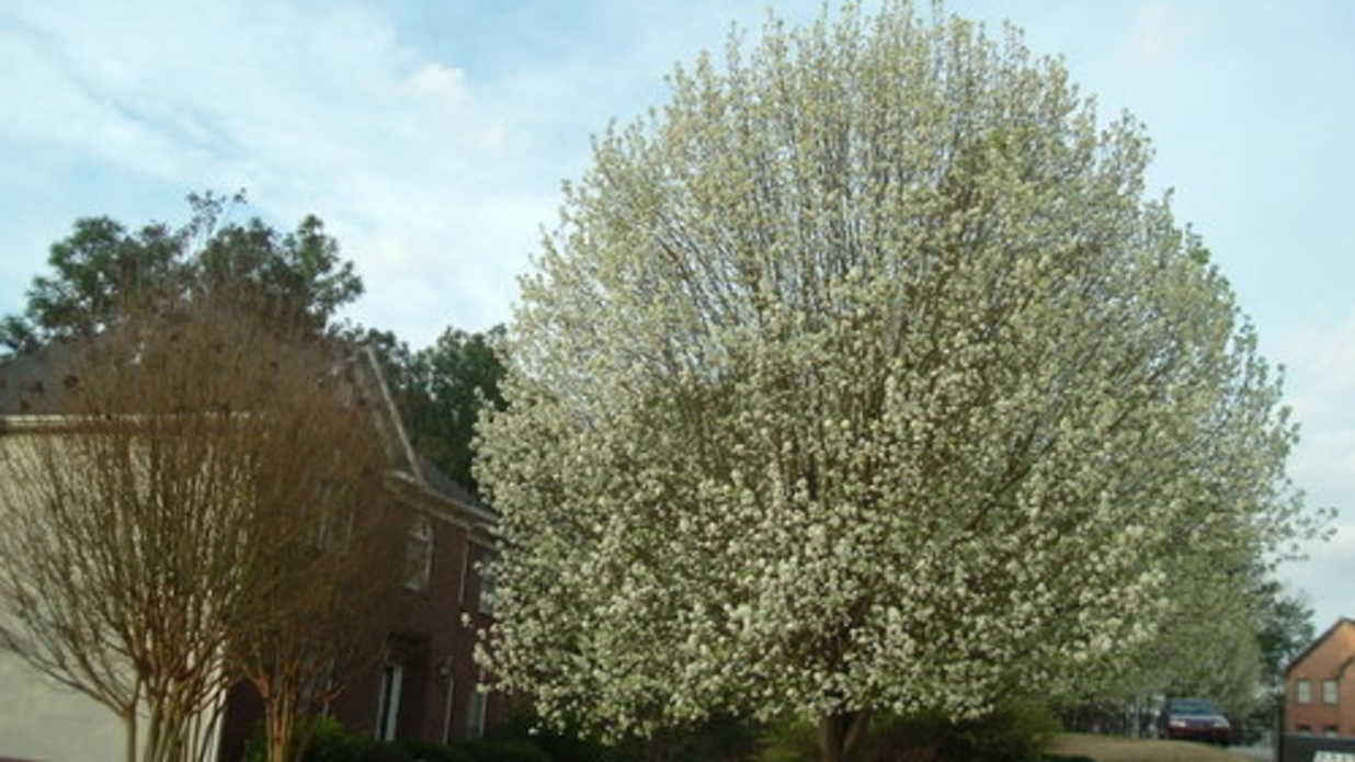 Sterling Bradford Pear Tuna On A Trunk Sourn Living Cleveland Select Pear Root System Cleveland Select Pear Tree Care houzz-03 Cleveland Select Pear